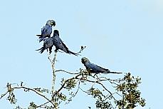 Meio ambiente - Animais e natureza - Arara azul - Caatinga
