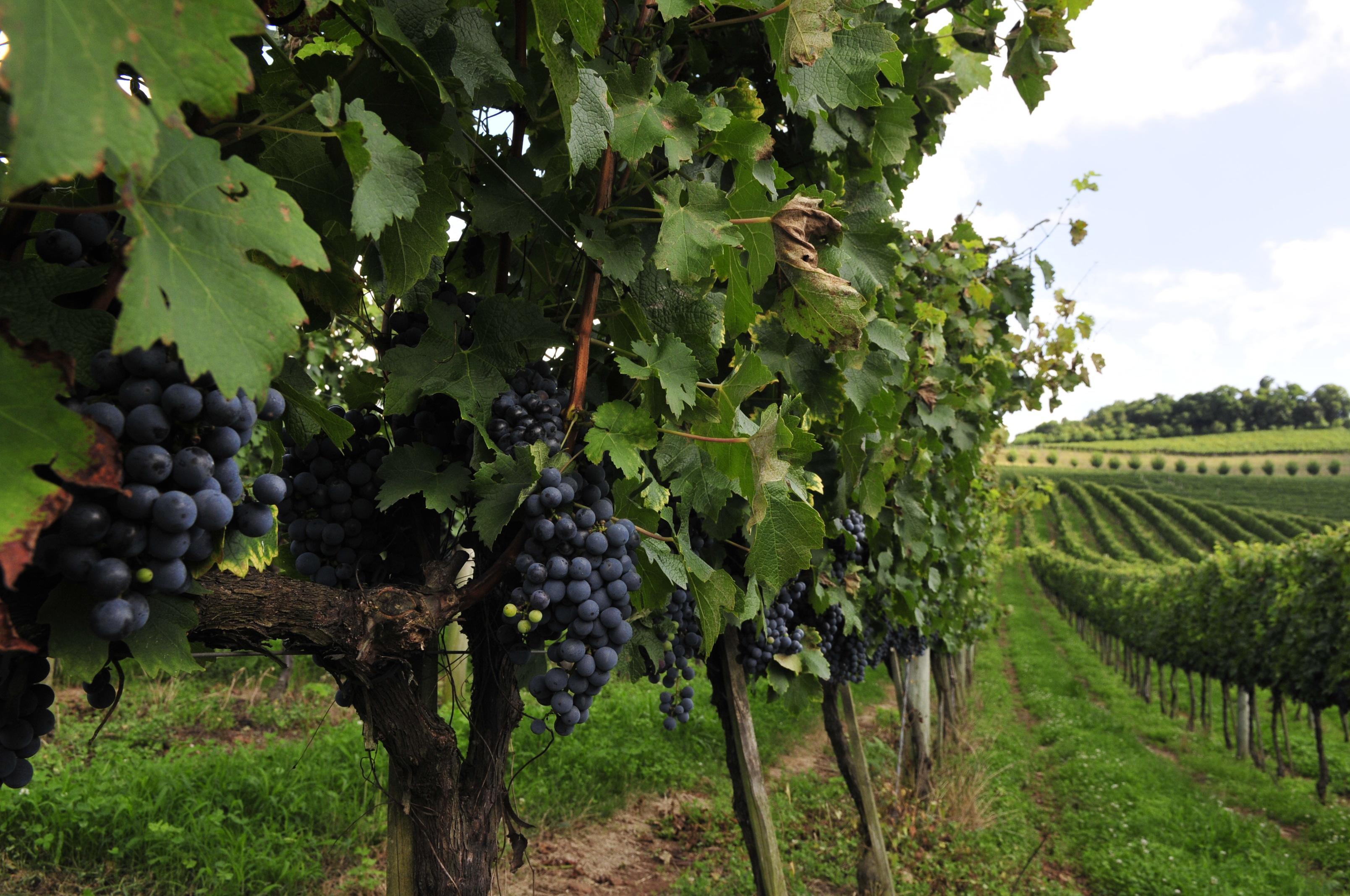 Agropecuária -> plantações -> uva, vinho, Vale dos Vinhedos