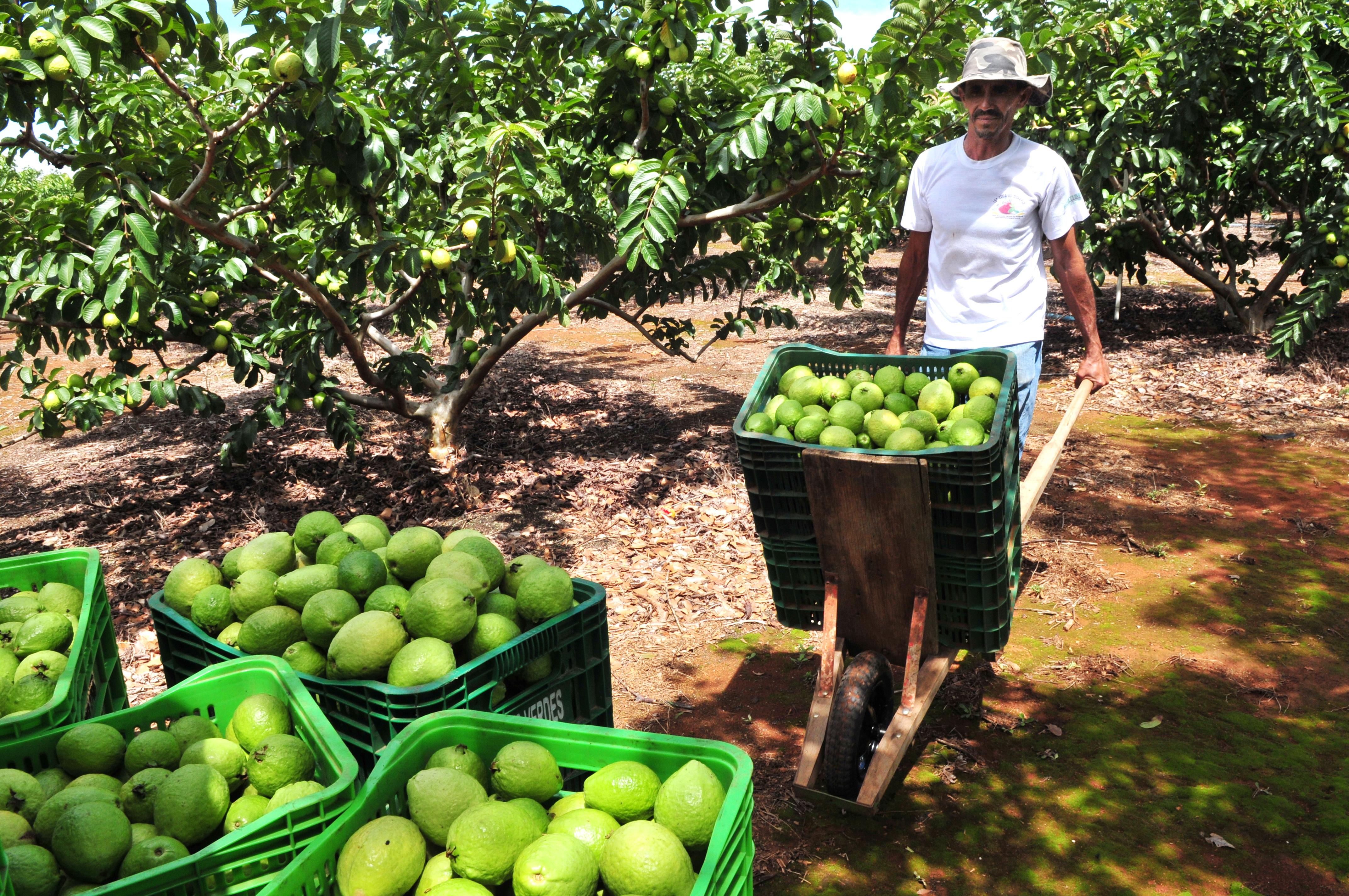Regra geral exige cumulativamente idade mínima e tempo de contribuição para aposentadoria - agricultura - pequeno agricultor - fruticultura - frutas - goiaba