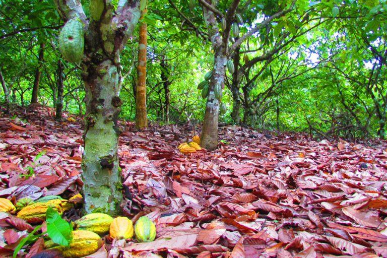 Agricultura - Meio Ambiente - ecologia - Agrofloresta Cacau