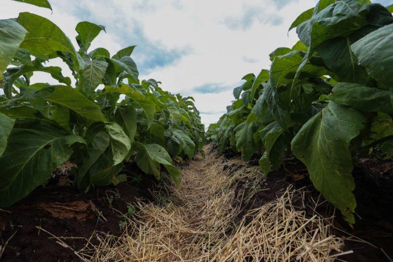 Agropecuária - plantações - tabaco