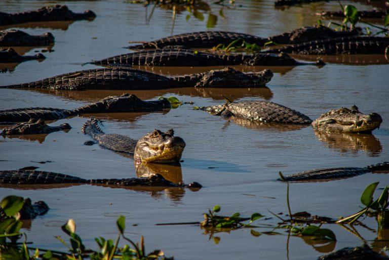Vários jacarés nadam em rio no Pantanal matogrossense
