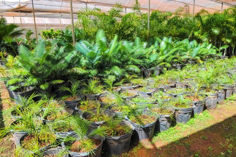Mudas de árvores em vasos num viveiro
