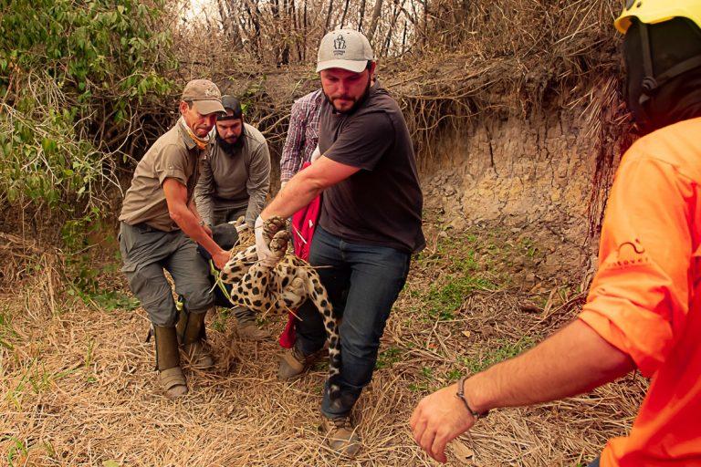 Meio Ambiente - queimada e desmatamento - Desastre ambiental provocado por queimadas no pantanal - animais feridos - brigadistas carregam animal