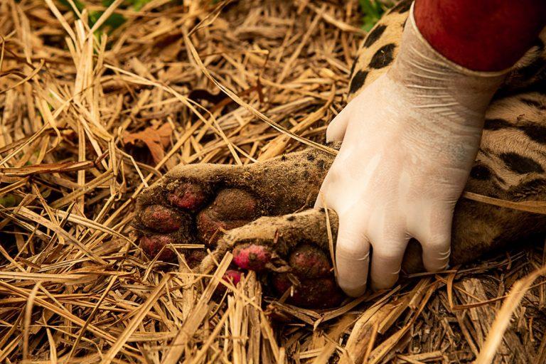 Mão com luva segura as patas de uma onça queimadas em incêndio no Pantanal