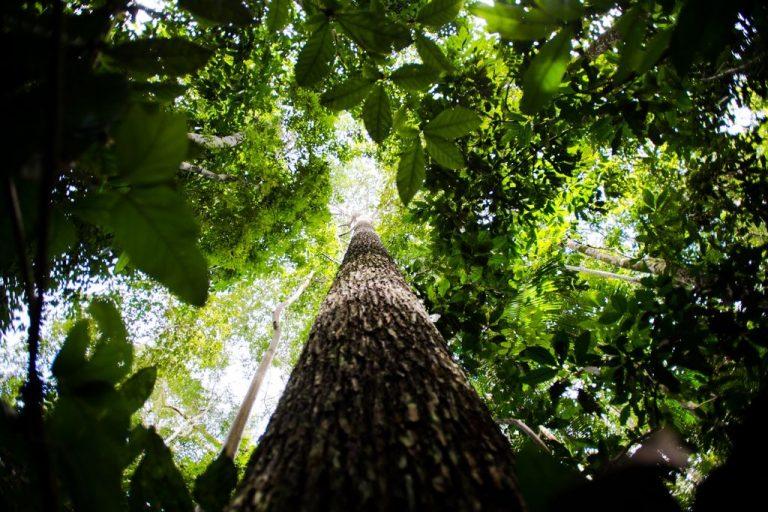 Floresta com árvores vistas de baixo para cima