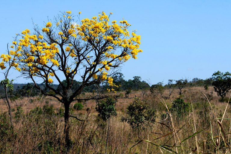 Ipê amarelo em área do bioma cerrado