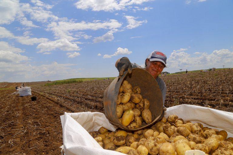 Agropecuária - plantações - lavoura - agricultura - fazenda - produção de batatas - Segundo maior produtor, Paraná responde por um quinto da batata do País