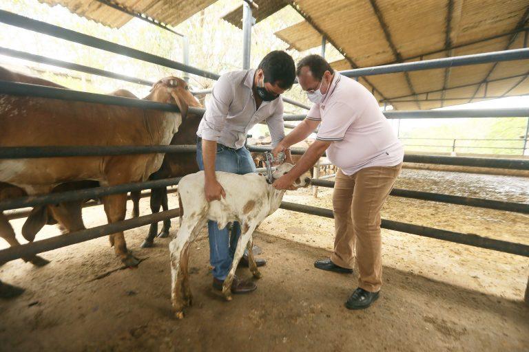 Agropecuária - criação de animais - Salvador BA 23 11 2020-Controle da febre aftosa Produtores de bovinos e bubalinos vacinam rebanho contra febre aftosa