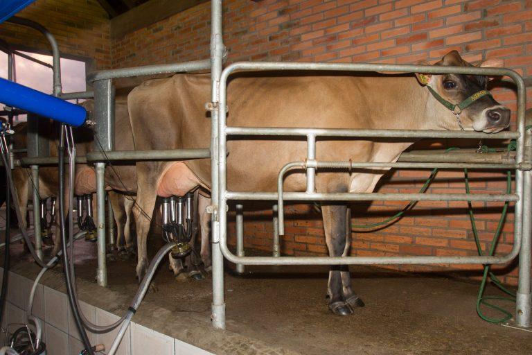 Agropecuária - criação de animais - gado leiteiro leite laticínios fazenda