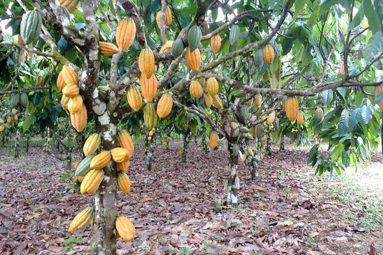 Agropecuária - plantações - chocolate cacau alimentos cacaueiros