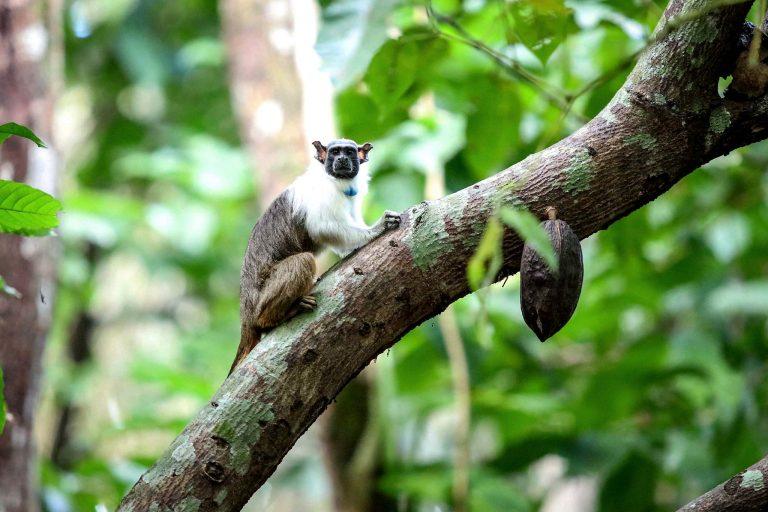 Um pequeno macaco está num galho de árvore. Ele olha para a câmera, Ao fundo, há mais árvores